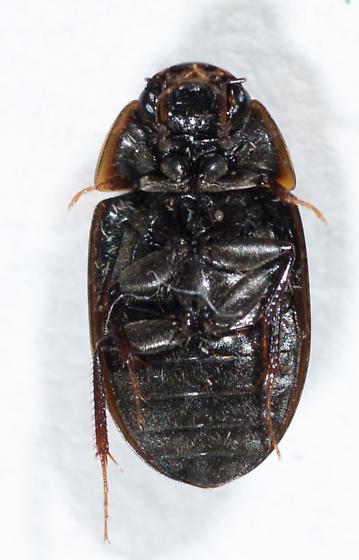 Hydrophilidae - Enochrus