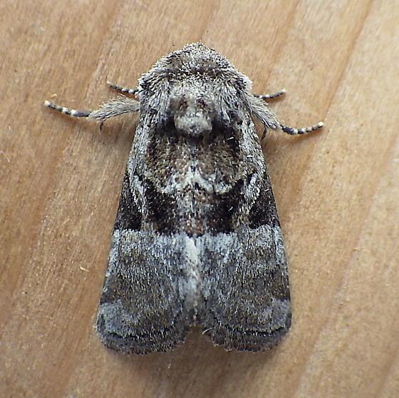Noctuidae: Meropleon ambifusca - Meropleon ambifusca