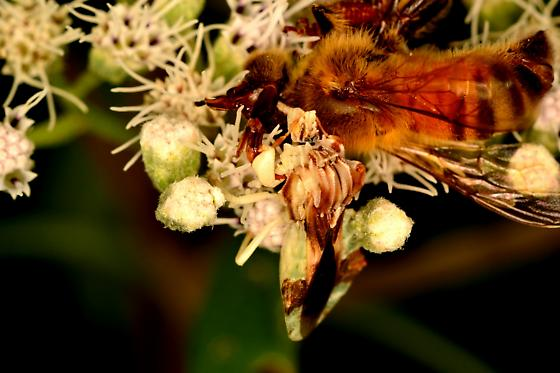 Phymata sp with Honeybee (Apis mellifera) - Phymata