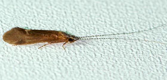 Leptoceridae
