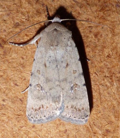 Caradrina montana - Caradrina clavipalpis