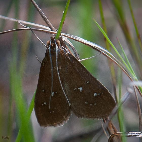 White-spotted Brown Moth - Diastictis ventralis