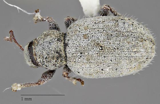 Curculionidae sp. - Pseudocercopeus