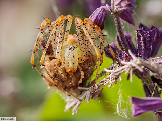 Green Spider from Texas - Peucetia viridans