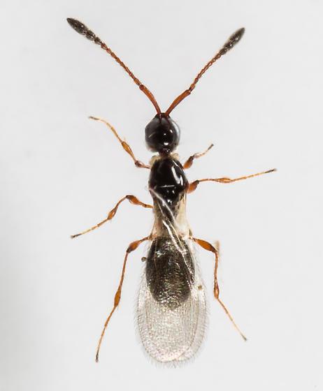 Wasp - Trichopria - female