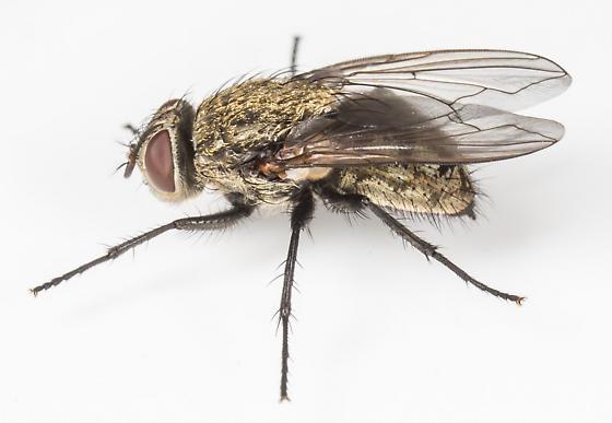 Fly - Pollenia pediculata - female