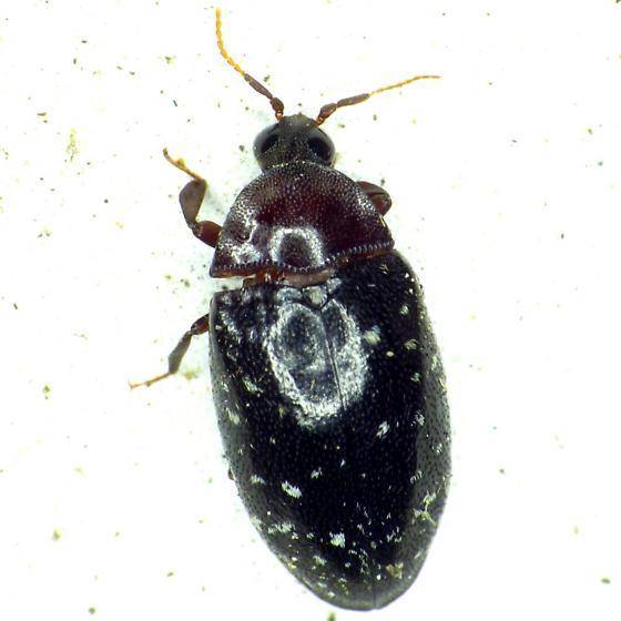Turtle Beetle - Chelonarium lecontei
