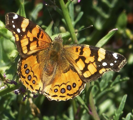 Butterfly seen by the ocean side - Vanessa annabella