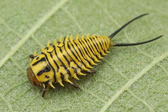 Physonota alutacea