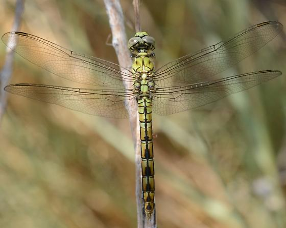 Green Dragonfly - Erythemis collocata