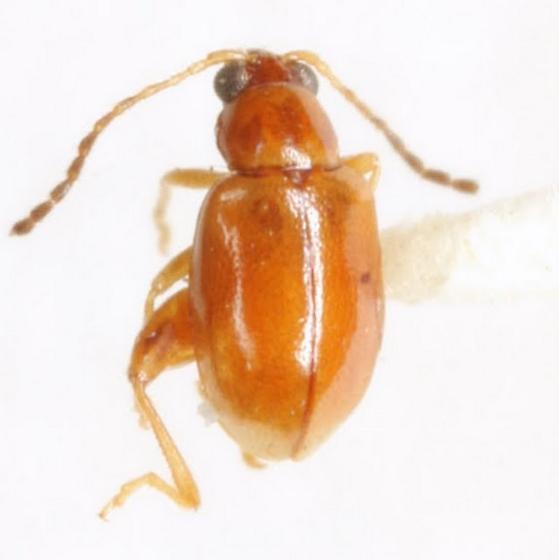 Longitarsus sp. (EGR 21) - Longitarsus - male