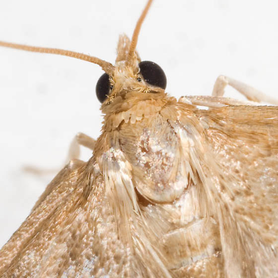 Light Brown Moth - Anania extricalis