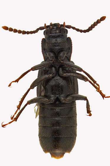 Spiny-legged Rove Beetle - Coprophilus striatulus