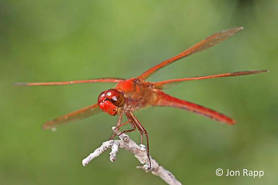 Needham's Skimmer Dragonfly - Libellula needhami - male