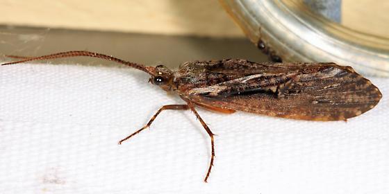 Caddisfly - Phryganea sayi