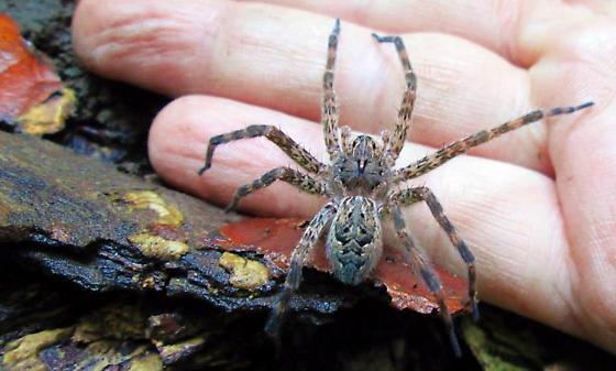 Dark Fishing Spider Dolomedes Tenebrosus