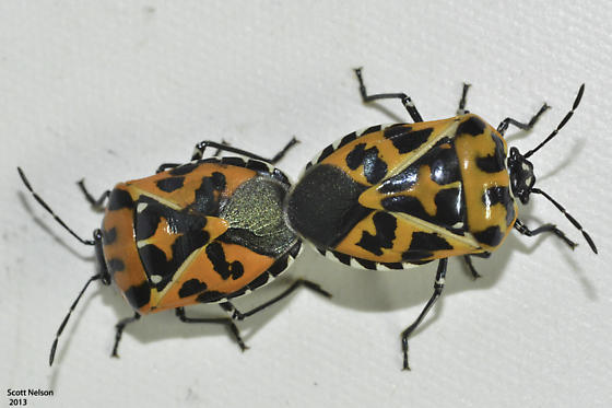 Mating Pair - Murgantia histrionica - male - female