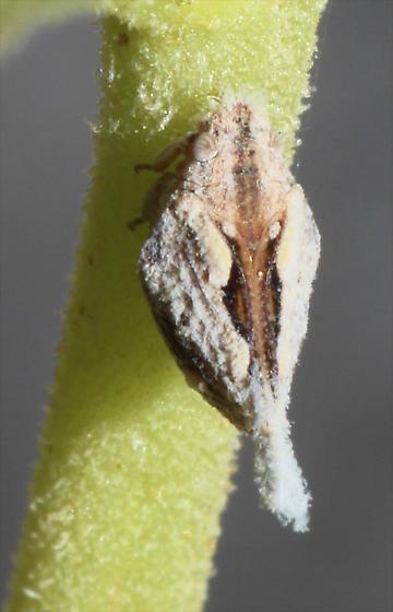 Planthopper on Desert Tobacco - Mistharnophantia