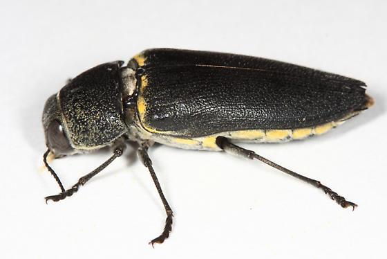 large Buprestid - Hippomelas planicauda