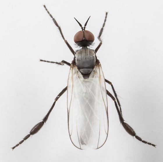 Dance Fly ? - Rhamphomyia