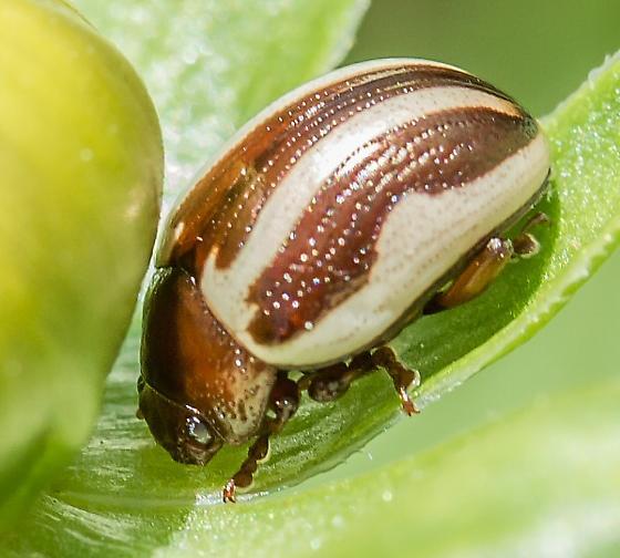 flower or leaf beetle - Calligrapha bidenticola