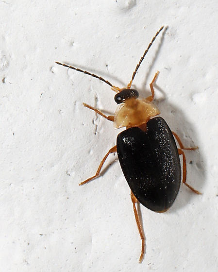 Beetle for ID - Sacodes pulchella