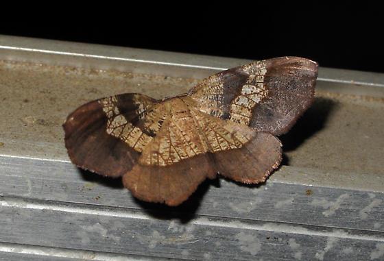 Brown and tan moth, Photo #2 - Probole amicaria