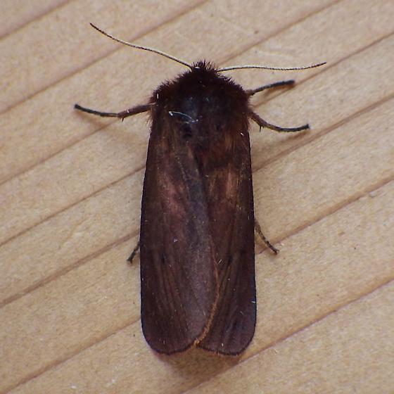 Erebidae: Phragmatobia fuliginosa - Phragmatobia fuliginosa