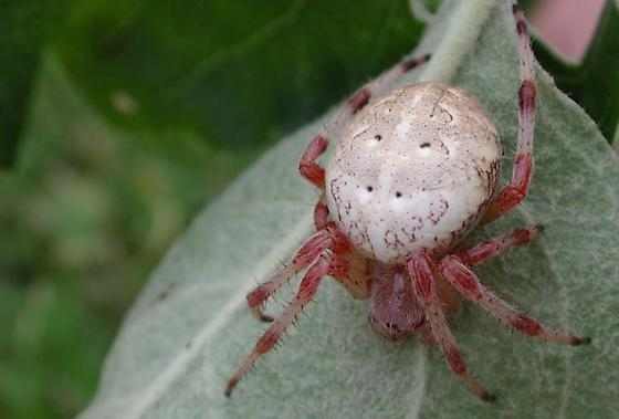 Apple tree spider - Araneus marmoreus