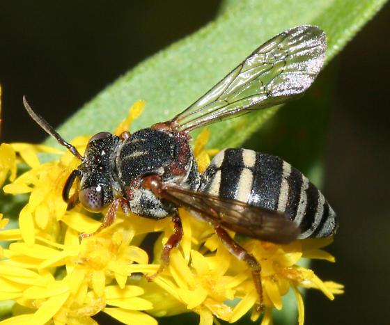 Triepeolus sp.? - Epeolus scutellaris