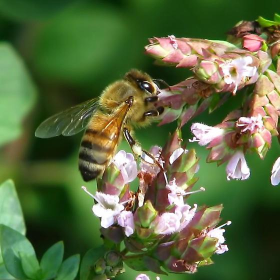 honeybee on oregano - Apis mellifera