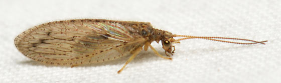 Brown bug with small head - Micromus