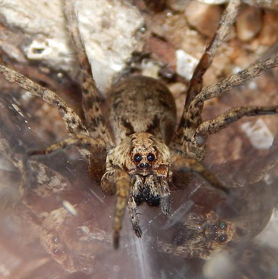 Wolf Spider - Gladicosa pulchra - female