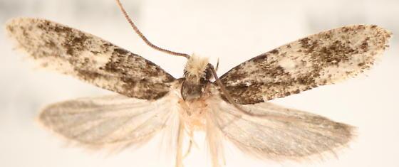 Nemapogon - male