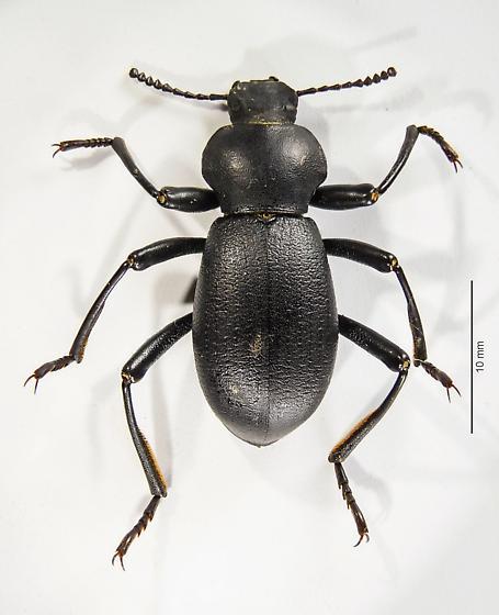 Large Eleodes? - Coelocnemis californica