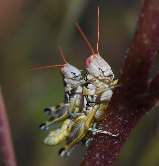 Acrididae - male - female