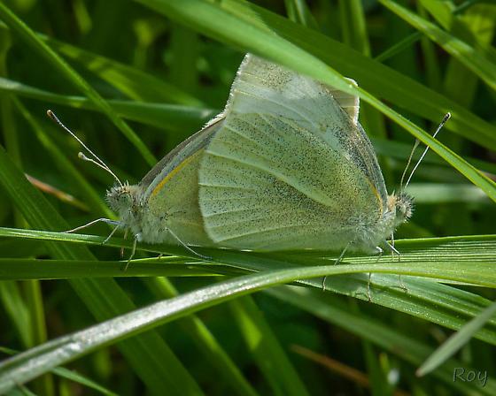Feb GA - Pieris rapae - male - female