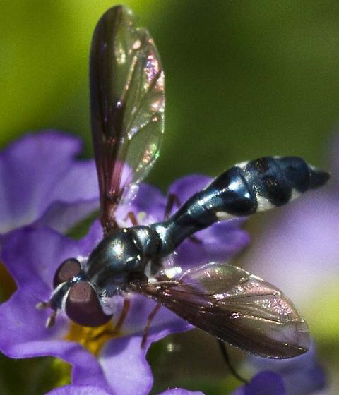 Syrphidae type Fly - Pelecinobaccha costata