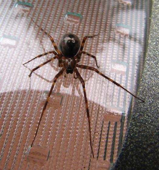 Spider - Pimoa - female