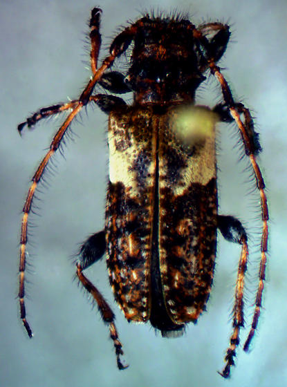 Pogonocherus arizonicus Schaeffer - Pogonocherus arizonicus - male