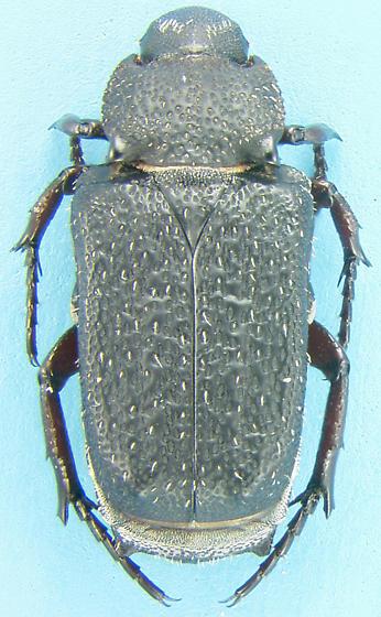 Cremastocheilus - Cremastocheilus mexicanus