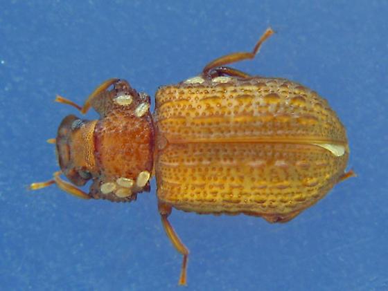 conifer underbark sheet fungus beetle darkens - Bolitophagus corticola