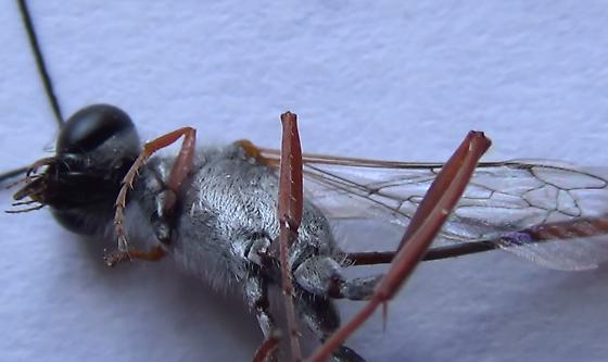 Sexing wasps in the genus Ammophila (leg textures) - Ammophila - male