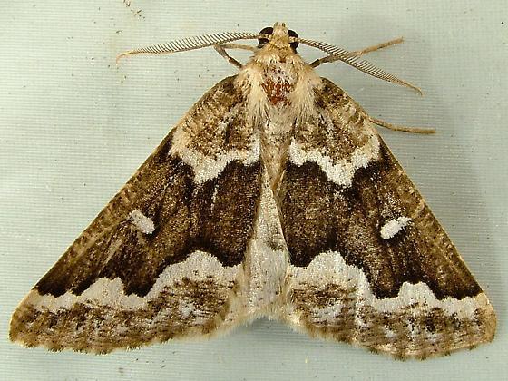 2238 Caripeta divisata - Gray Spruce Looper 6863 - Caripeta divisata - male