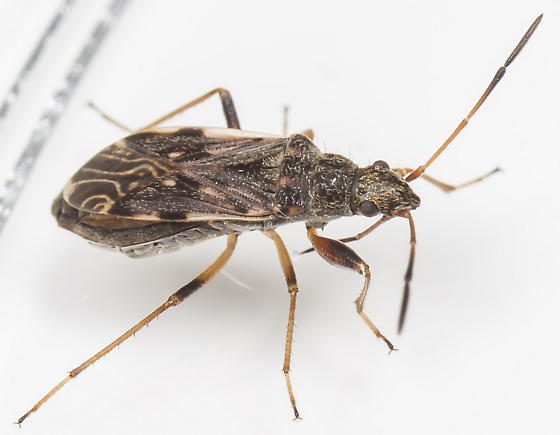 Dirt-colored Seed Bug - Ligyrocoris diffusus