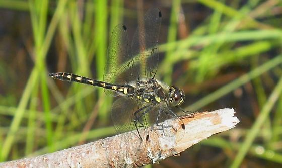 Black Meadowhawk, Sympetrum danae - Sympetrum danae - male