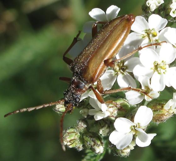 Beetle on Achillea - Stenocorus vestitus