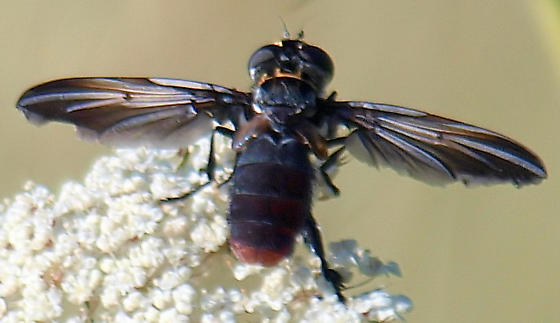 which feather-legged fly is this? view 3 - Trichopoda lanipes