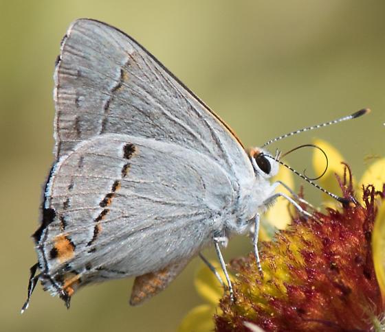 pale blue butterfly with orange - Strymon melinus - male