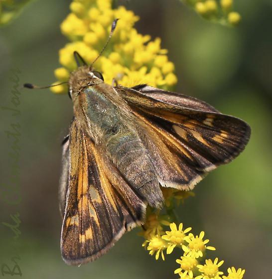 Fiery Skipper (Hylephila phyleus)? - Atalopedes campestris - female